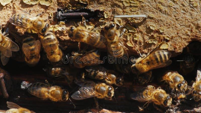 Primo piano di una colonia delle api su un vecchio materiale di legno fotografia stock