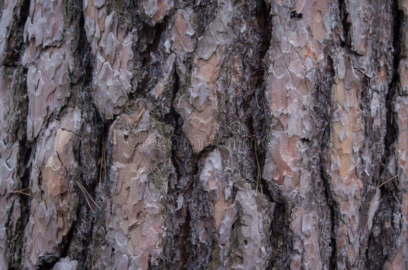 Primo piano di una corteccia di pino nel legno fotografia stock