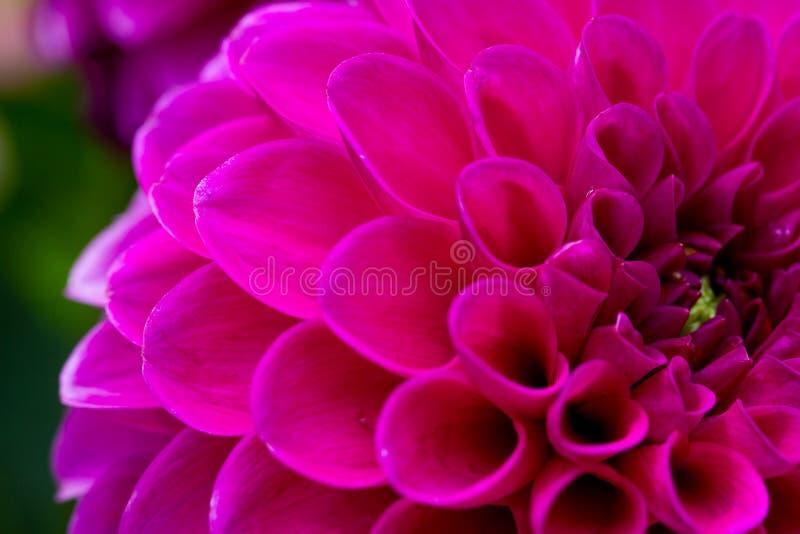Primo piano di una dalia di lila immagini stock libere da diritti