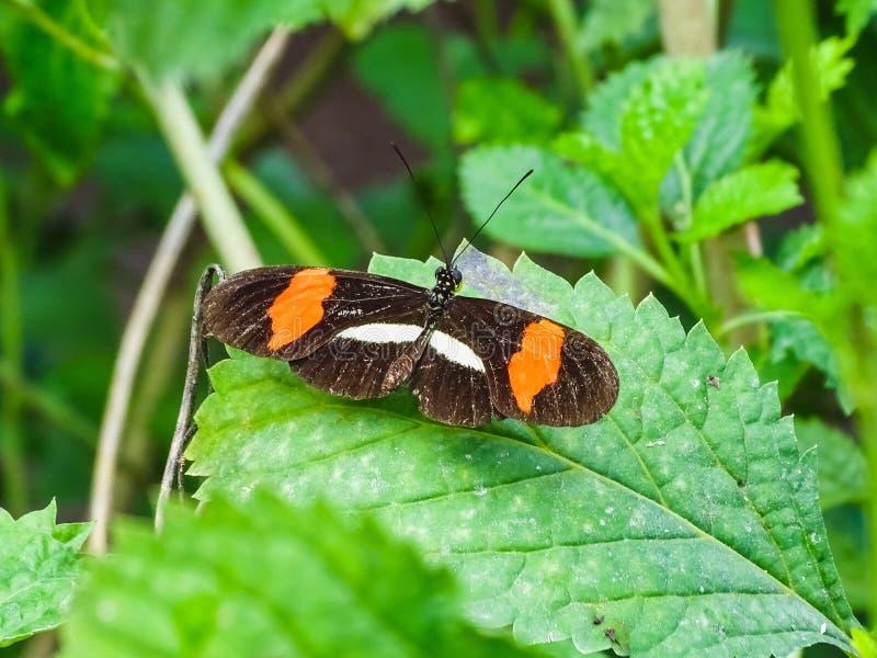 Primo piano di una farfalla del melpomene di heliconius su una foglia fotografie stock