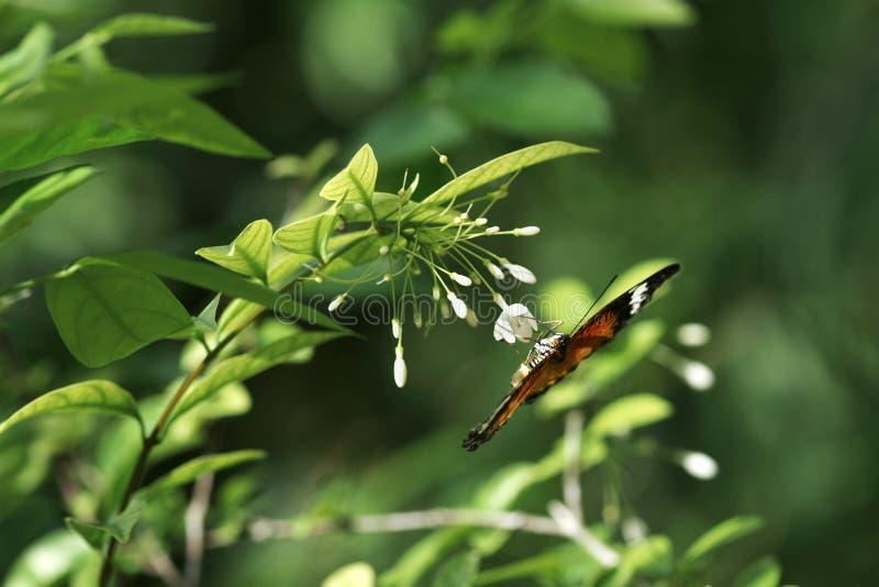 Primo piano di una farfalla marrone arancio nera che si siede sottosopra sul piccolo fiore bianco che mangia il suo nettare fotografia stock libera da diritti