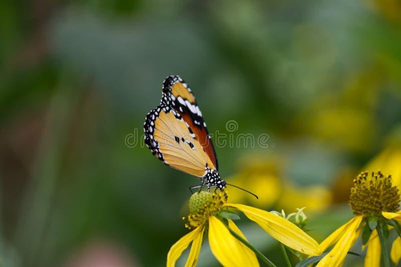 Primo piano di una farfalla di monarca africana fotografia stock