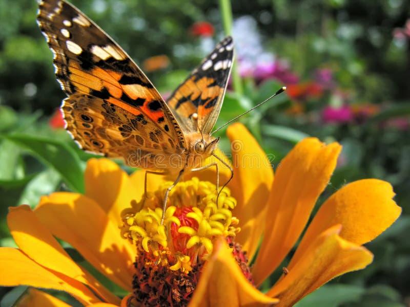 primo piano di una farfalla di monarca fotografie stock