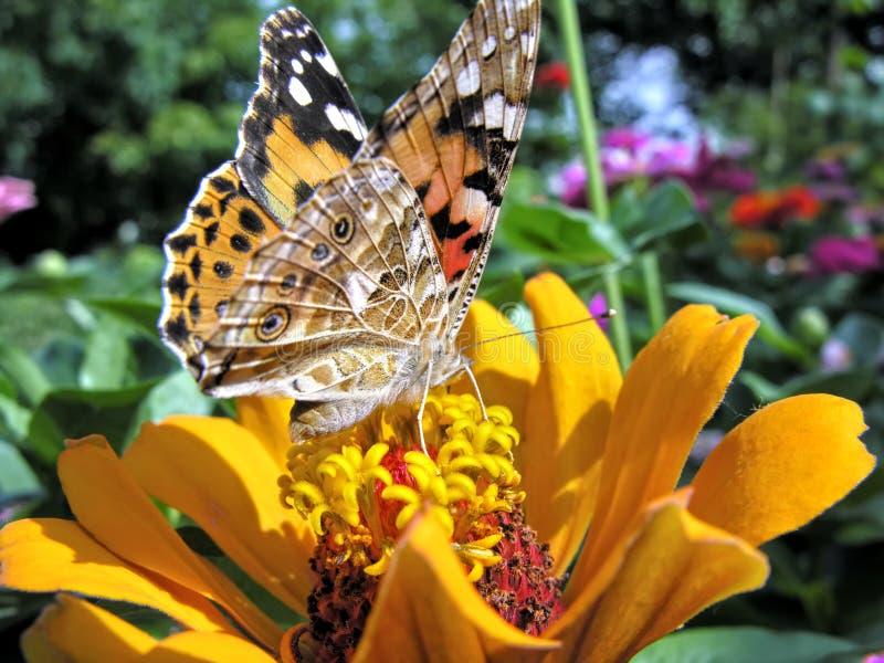 primo piano di una farfalla di monarca immagine stock libera da diritti