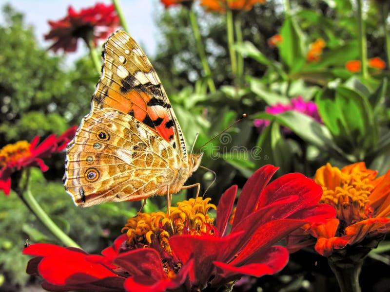 primo piano di una farfalla di monarca immagine stock