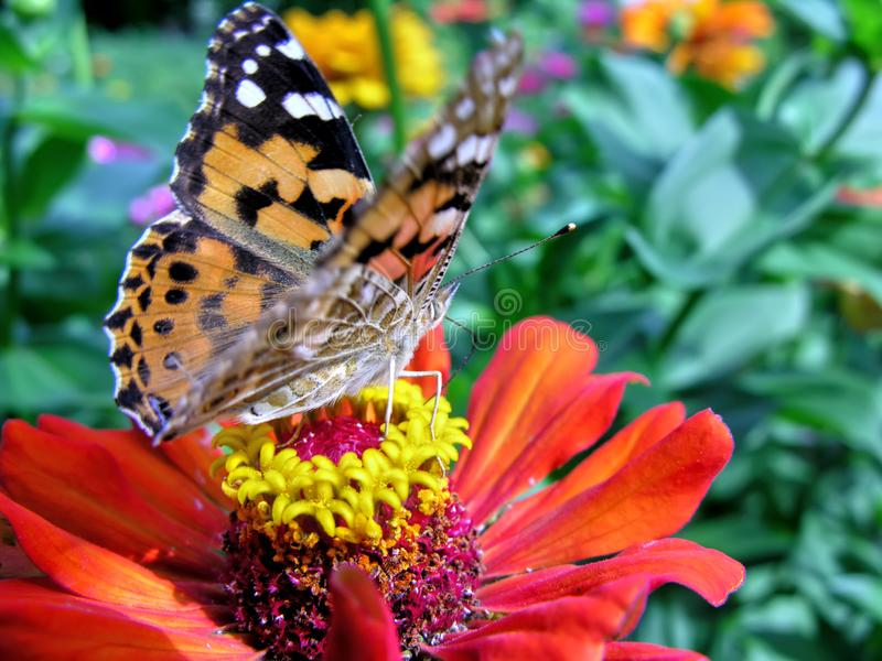 primo piano di una farfalla di monarca fotografia stock libera da diritti
