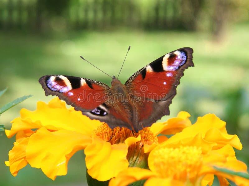 Primo piano di una farfalla rossa fotografia stock