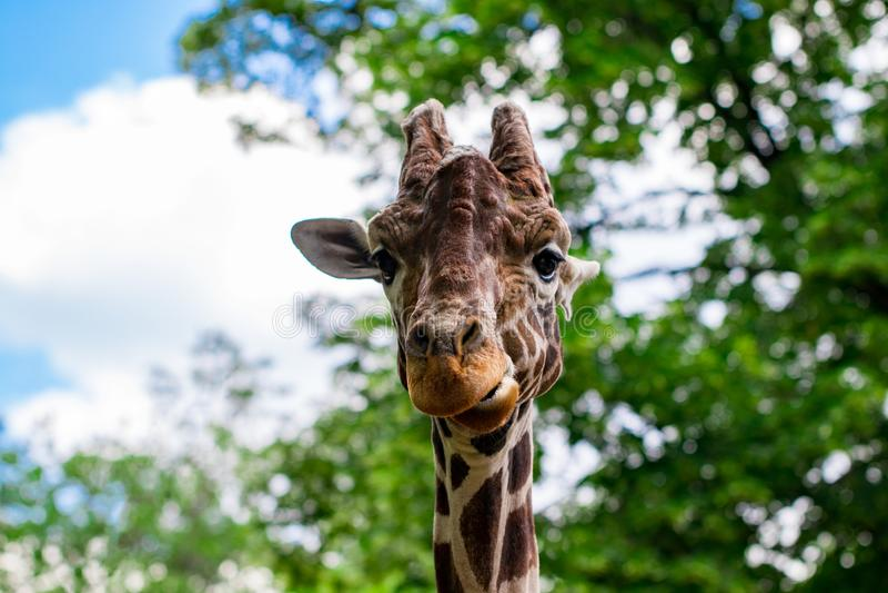 Primo piano di una giraffa davanti ad alcuni alberi verdi, esaminante t fotografie stock libere da diritti