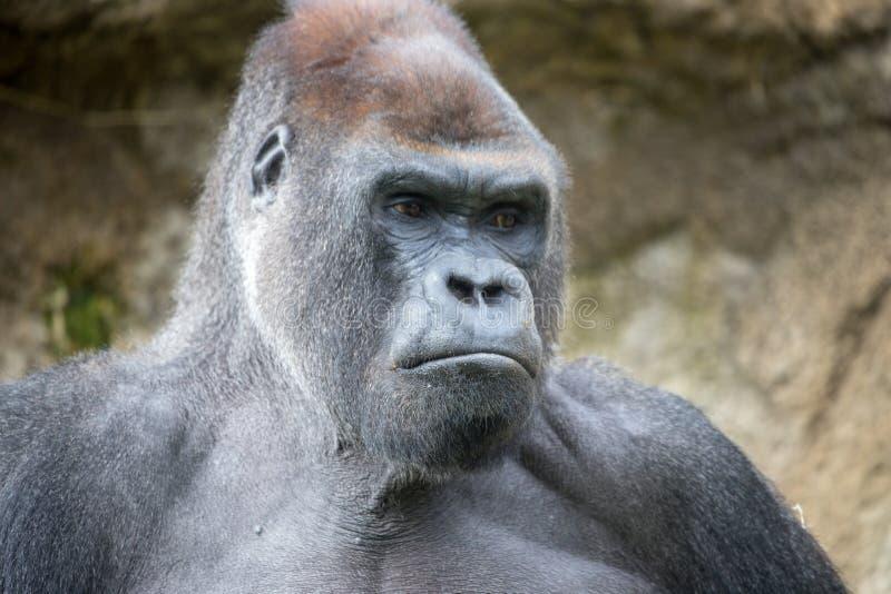 Primo piano di una gorilla grigia immagini stock libere da diritti