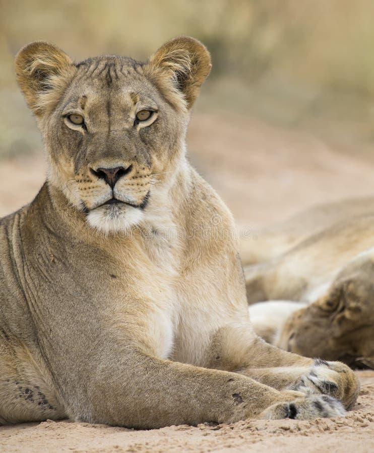 Primo piano di una leonessa che si riposa al resto sulla sabbia molle di Kalahari fotografia stock libera da diritti