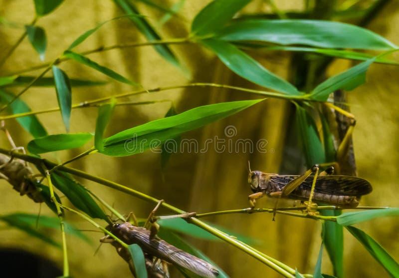 Primo piano di una locusta migratore che si siede su un ramo, sull'insetto dall'Africa e sull'Asia fotografia stock