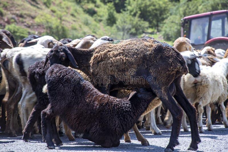 Primo piano di una pecora che alimenta un agnello durante l'azionamento ad un nuovo pascolo fotografia stock libera da diritti