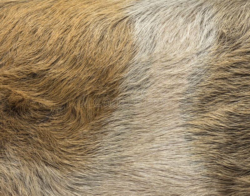 Primo piano di una pelle del maiale domestica fotografie stock