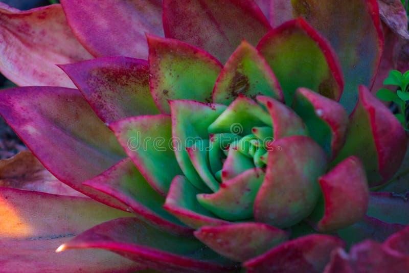 Primo piano di una pianta succulente magnifica del cactus di incandescenza rossa luminosa e vibrante di Echeveria fotografie stock