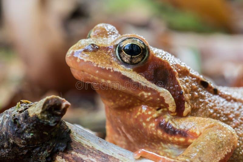 Primo piano di una rana agile - rana dalmatina - testa soltanto immagini stock libere da diritti