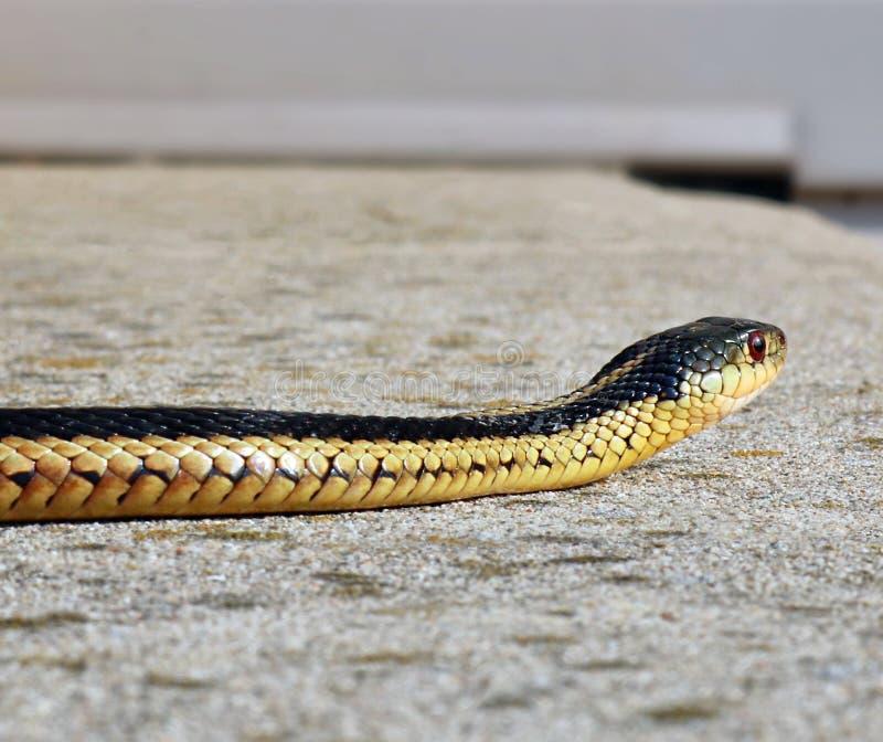 Primo piano di una testa e di un corpo del serpente di giarrettiera comune su un patio del cemento immagine stock