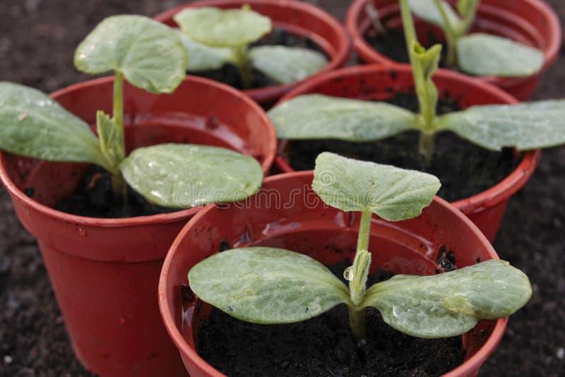 Primo piano di verdure dei semenzali in POT immagine stock