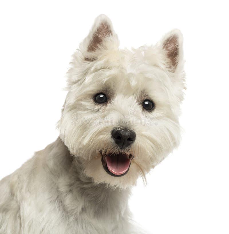 Primo piano di West Highland Terrier bianco, esaminante la macchina fotografica fotografie stock
