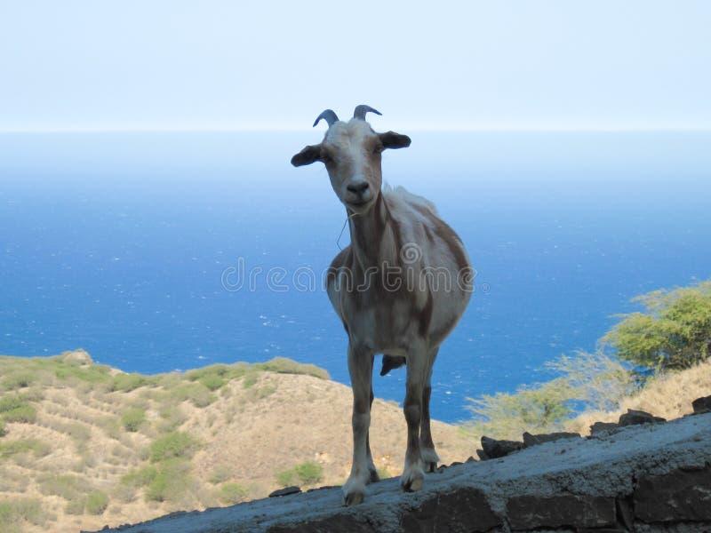 Primo piano divertente della capra che esamina macchina fotografica fotografie stock