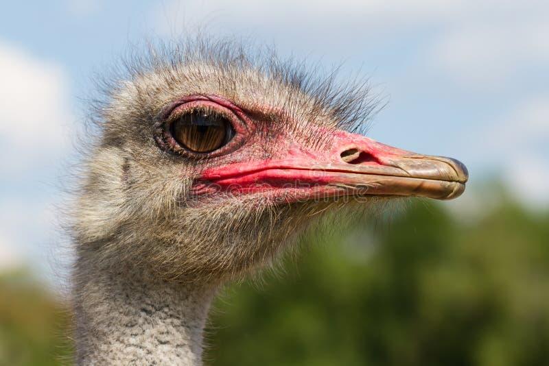 Primo piano divertente della testa del maschio dello struzzo con il grande occhio ed il becco rosa con fondo verde ed il fuoco se fotografie stock libere da diritti
