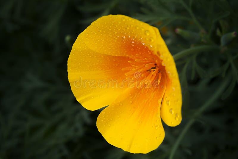 Primo piano dorato californiano del papavero fotografia stock
