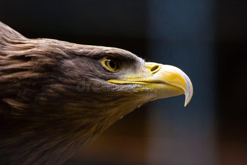 Primo piano Eagle calvo americano fotografia stock