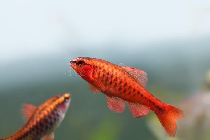 Primo piano esotico variopinto del pesce Il carro armato d'acqua dolce dell'acquario con il titteya di Barbus Puntius pesca Natur fotografia stock