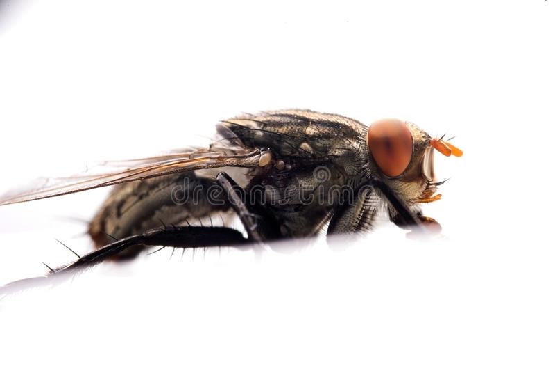 Primo piano estremo della mosca della Camera immagini stock