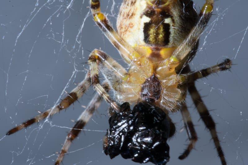 Primo piano estremo di piccolo ragno che si diletta sulla preda immagine stock
