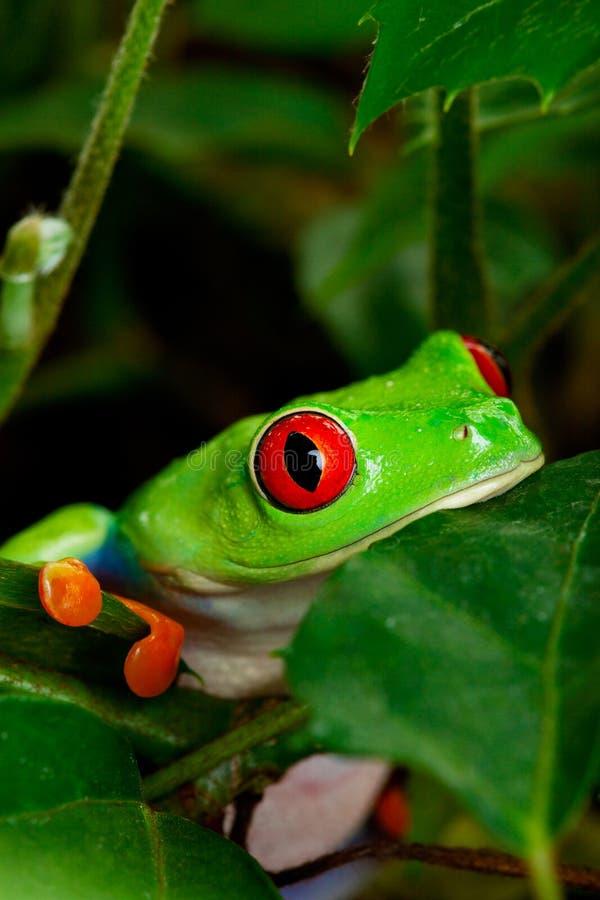 Primo piano Eyed rosso della rana di albero fotografia stock libera da diritti