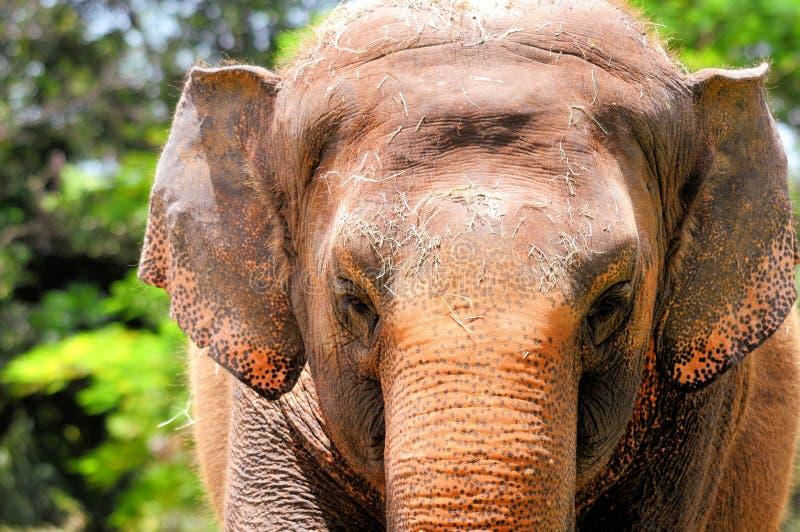 Download Primo Piano Femminile Dell'elefante Fotografia Stock - Immagine di naughty, pascolo: 56892830