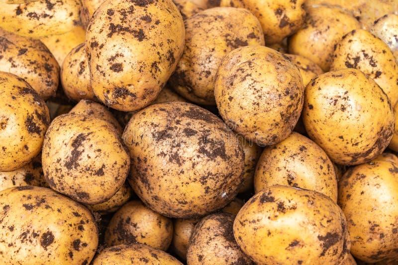 Primo piano fresco dei tuberi della patata Appena patate raccolte nel campo Fondo della patata immagine stock libera da diritti