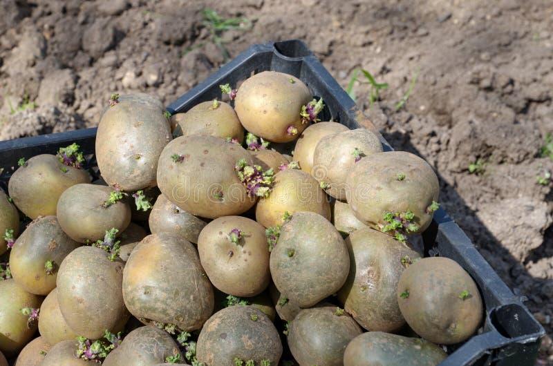 Primo piano germogliato delle patate da semi fotografie stock libere da diritti