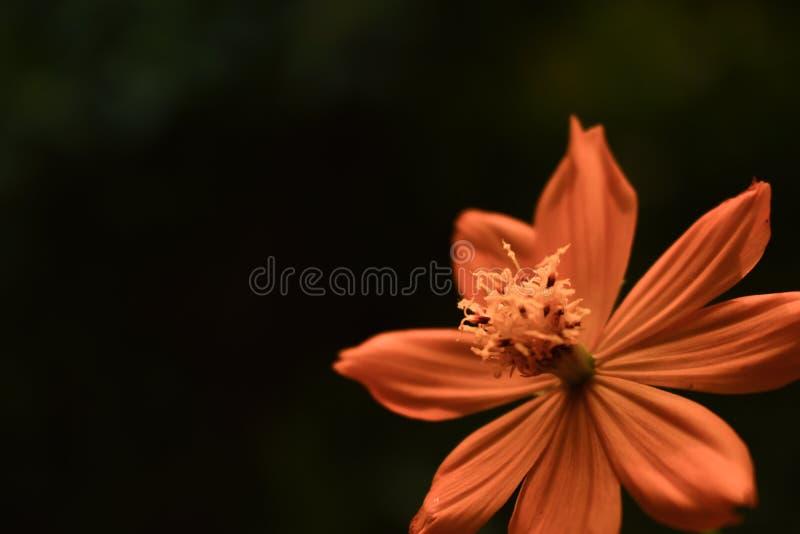 Primo piano giallo arancione del fiore di Tickseed di Coreopsis fotografie stock libere da diritti