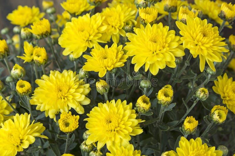Primo piano giallo del crisantemo fotografie stock