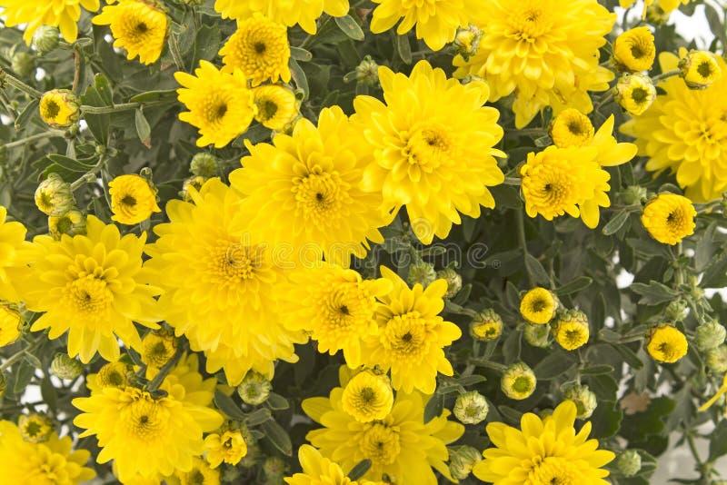 Primo piano giallo del crisantemo fotografia stock libera da diritti