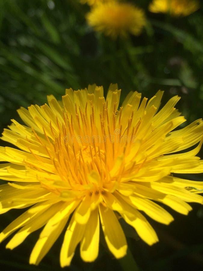 Primo piano giallo del fiore immagine stock libera da diritti