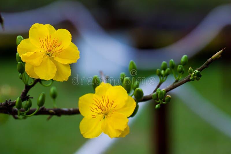 Primo piano giallo del fiore dell'albicocca (MAI di Hoa) fotografia stock libera da diritti