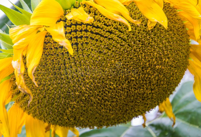 Primo piano giallo del girasole Fiore di Suflower fotografia stock libera da diritti