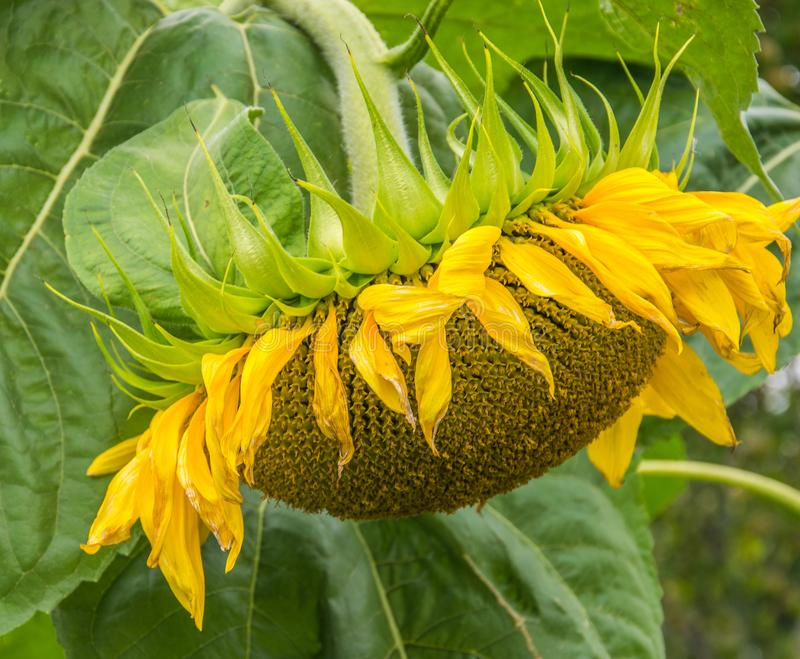 Primo piano giallo del girasole Fiore di Suflower, vista laterale fotografia stock