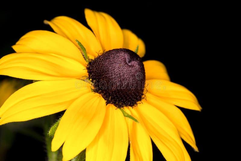 Primo piano giallo del orientale del Doronicum della margherita fotografie stock