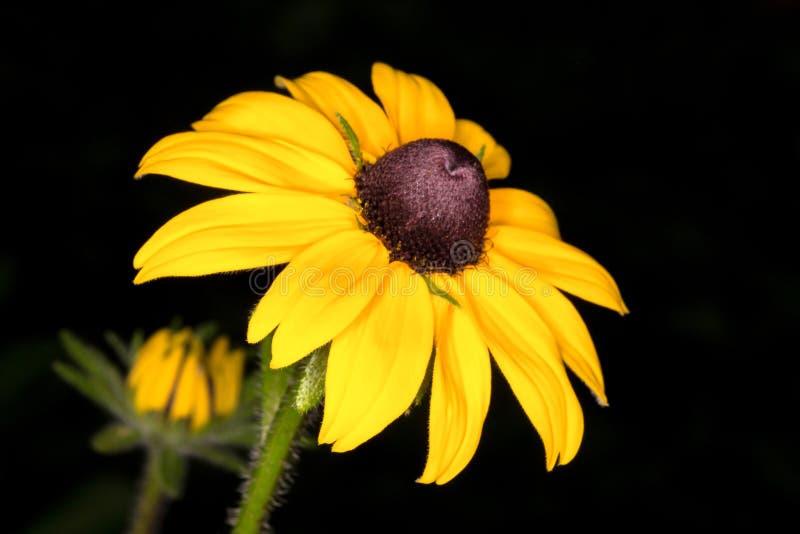 Primo piano giallo del orientale del Doronicum della margherita fotografia stock