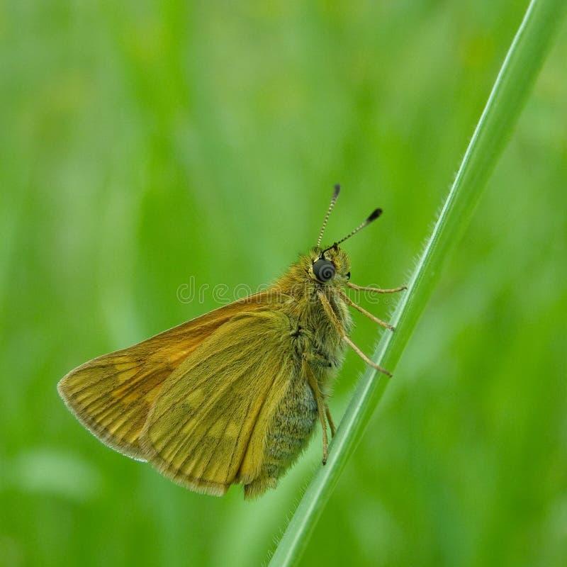 Primo piano giallo della farfalla fotografia stock libera da diritti
