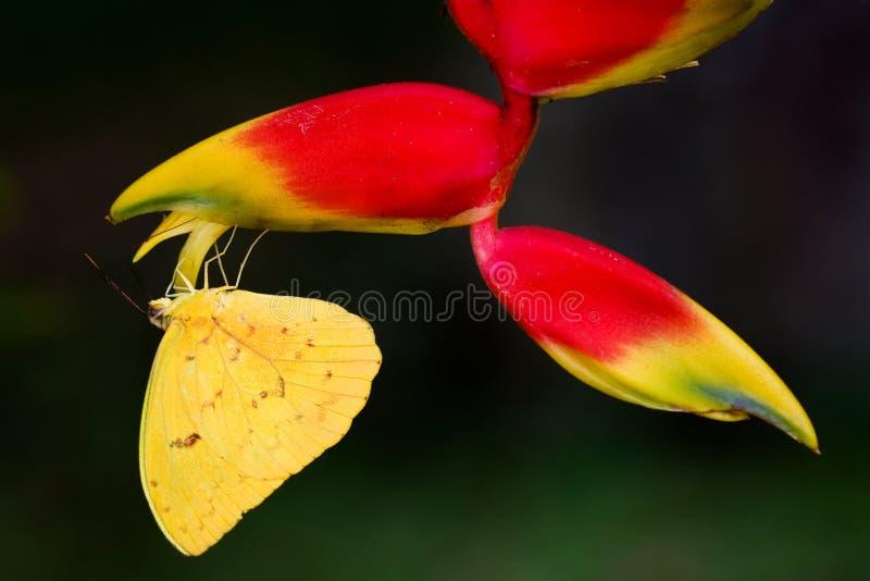 Primo piano giallo della farfalla che si siede sottosopra sul fiore tropicale d'attaccatura Heliconia fotografie stock libere da diritti