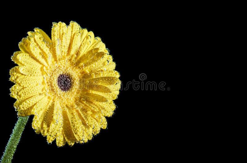 Primo piano giallo della gerbera sotto acqua Un fiore con le bolle di aria sui petali Fiore per la cartolina d'auguri fotografia stock libera da diritti
