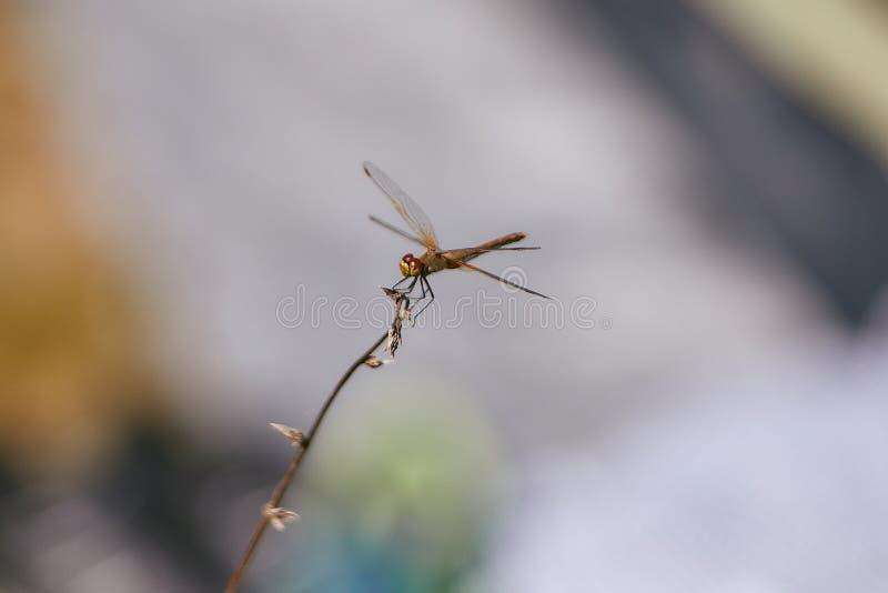 Primo piano giallo della libellula che si siede su un ramoscello Fondo vago immagini stock