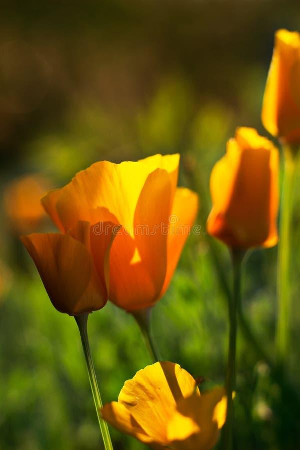 Primo piano giallo della pianta dei fiori del fiore della fioritura di californica di Eschscholzia fotografia stock