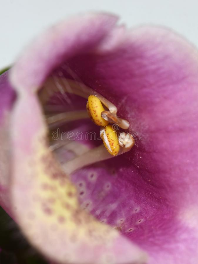 Primo piano giallo delle antere della digitale purpurea fotografie stock libere da diritti