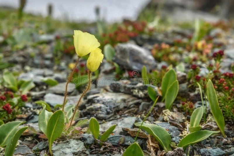 Primo piano giallo delle montagne dei fiori di rhodiola dei papaveri immagine stock