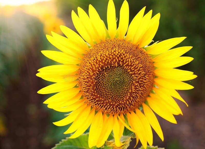 Primo piano giallo di fioritura del girasole su fondo del campo verde fotografia stock